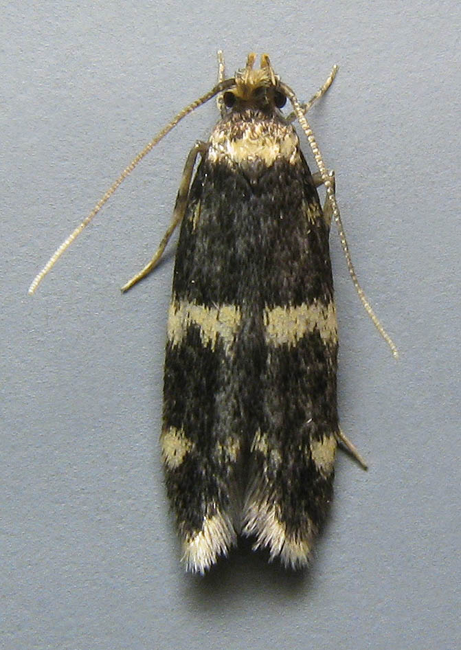Oegoconia (a genus of micro-moths), eg: Oegoconia deauratella (Scarce Obscure) - Male - dorsal view